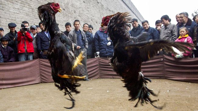 Sabung Ayam!, Cara Kota Tiongkok Menarik Wisatawan?