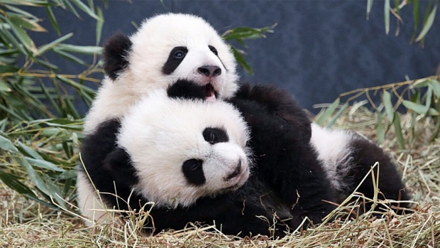Panduan Berwisata ke Rumah Panda di Chengdu,China
