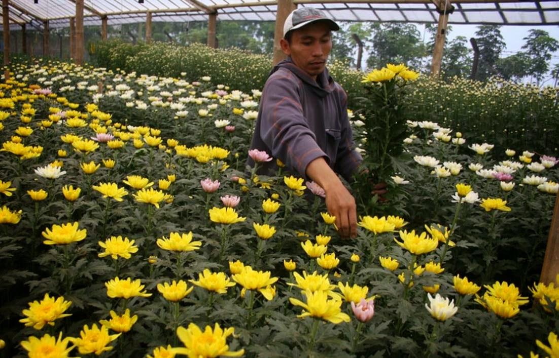 Serunya Berwisata Sambil Belajar Membudidayakan Bunga Krisan