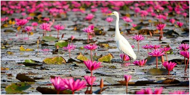 Bak Permadani Bunga Teratai Yang Memanjakan Mata di Danau Nong Han Thailand