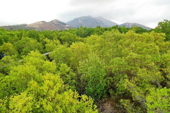 Ternyata Ada Harta Karun Tersembunyi di Maumere : Hutan Mangrove Magepanda