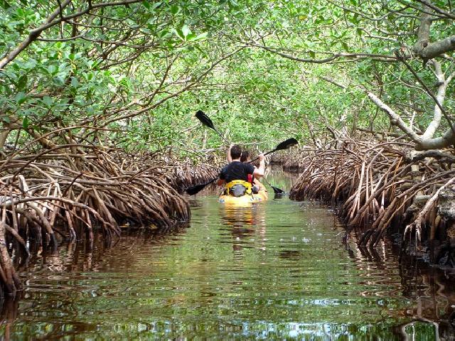 Ada Hutan Bakau Besar Pada Pedalaman Riau !