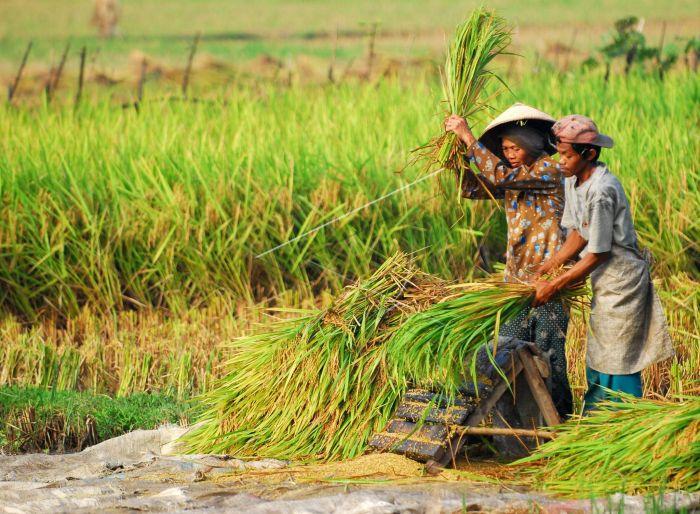 Masa Depan Asuransi Pertanian di Pihak Jasindo